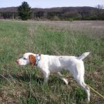 Brittany Dog in a field wearing blue collar