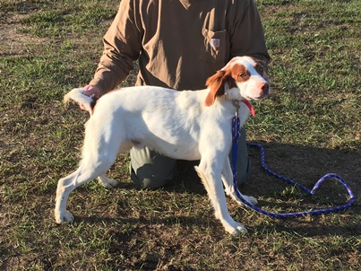 White and orange Brittany dog with purple leash